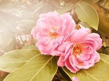 Roze nam in tuin uitstekende toon toe Royalty-vrije Stock Foto