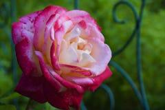 Roze nam van de bloemtuin toe stock foto's