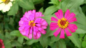 Roze narrowleaf Zinnia in de tuin stock video