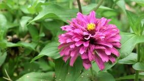 Roze narrowleaf Zinnia in de tuin stock videobeelden