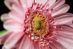 Roze Natte Gerber Royalty-vrije Stock Foto