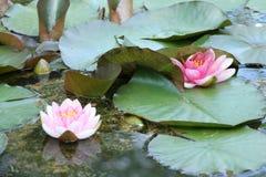 Roze Natuurlijke Waterlelies Stock Fotografie