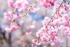 Roze neerhangende kersenbloesems Royalty-vrije Stock Afbeeldingen
