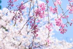 Roze neerhangende kersenbloesems Royalty-vrije Stock Fotografie