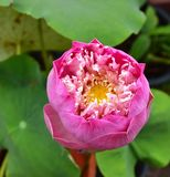 Roze Nelumbo Lotus Flower in de Pool stock fotografie