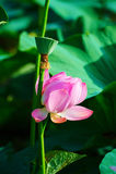 Roze nelumbonucifera Royalty-vrije Stock Foto