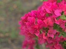 Roze Nerium-oleander Stock Afbeelding