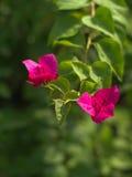 Roze Nerium-oleander Stock Foto's