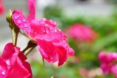 Roze is nog toenam Royalty-vrije Stock Fotografie