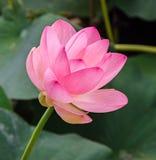Roze nuphar bloemen, groen die gebied op meer, waterlelie, vijver-lelie, spatterdock, Nelumbo-nucifera, ook als Indische lotusblo stock fotografie