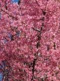 Roze Okame Cherry Blossoms van de Prelente in Maart royalty-vrije stock fotografie