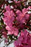 Roze Oleander Royalty-vrije Stock Afbeelding