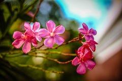 Roze oleander Royalty-vrije Stock Foto's