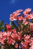 Roze oleanderbloei Royalty-vrije Stock Afbeeldingen