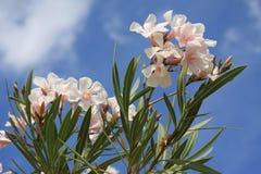 Roze oleanderbloei Royalty-vrije Stock Fotografie