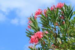 Roze oleanderbloemen Stock Foto's