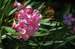 Roze oleanderbloemen Stock Afbeeldingen