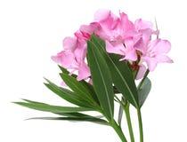 Roze oleanderbloemen en bladeren royalty-vrije stock afbeelding
