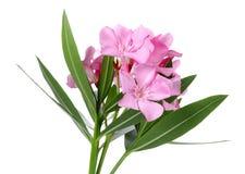 Roze oleanderbloemen en bladeren royalty-vrije stock afbeeldingen