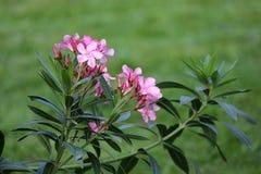 Roze oleanderbloemen en bladeren royalty-vrije stock foto's