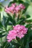 Roze oleanderbloemen en bladeren royalty-vrije stock fotografie