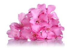 Roze oleanderbloemen op witte achtergrond royalty-vrije stock afbeelding