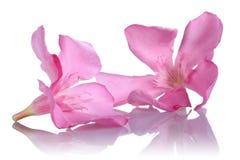 Roze oleanderbloemen op witte achtergrond stock foto