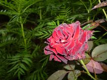 Roze onder flits op een aanbiddelijke en vriendschappelijke manier royalty-vrije stock fotografie