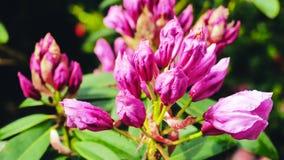 Roze onontloken bloemen van azalea Royalty-vrije Stock Foto