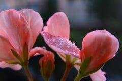 Roze ooievaarsbek met regendalingen royalty-vrije stock afbeelding