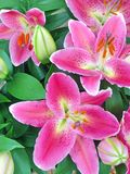 Roze oosterse leliebloemen stock afbeelding
