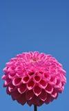 Roze op blauw Royalty-vrije Stock Afbeelding