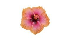Roze/oranje geïsoleerdes hibiscus royalty-vrije stock foto