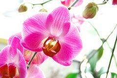 Roze Orchideeën Royalty-vrije Stock Afbeeldingen