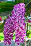 Roze orchideeën (Rhynchostylis) Royalty-vrije Stock Afbeelding