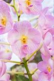 Roze orchideeën (Vanda) Royalty-vrije Stock Afbeeldingen