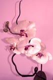 Roze orchidee stock fotografie