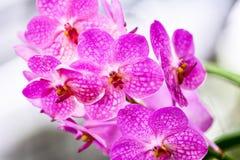 Roze Orchidee Stock Foto
