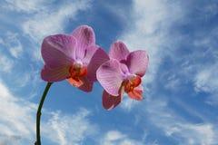 Roze Orchidee Stock Afbeeldingen