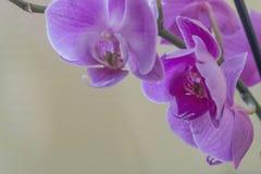 Roze Orchidee Royalty-vrije Stock Foto's
