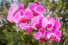 Roze orchidee in Aard Royalty-vrije Stock Foto's