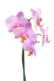 Roze orchidee die op een wit wordt geïsoleerdp Stock Foto