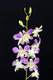 Roze orchidee die op een zwarte achtergrond wordt geïsoleerd royalty-vrije stock afbeeldingen