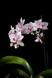 Roze orchidee die op een zwarte wordt geïsoleerdg Stock Foto