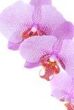Roze orchidee die op wit wordt geïsoleerde Royalty-vrije Stock Foto's