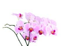 Roze orchidee die op witte achtergrond wordt geïsoleerdy Stock Fotografie