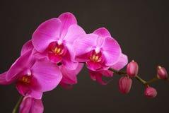 Roze orchidee met knoppen Royalty-vrije Stock Foto's