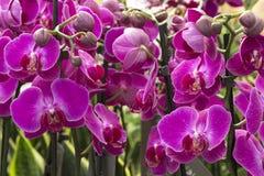 Roze orchidee?n royalty-vrije stock foto