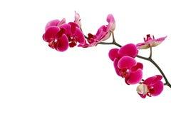 Roze orchidee op een witte achtergrond Stock Afbeelding