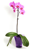 Roze orchideebloem Royalty-vrije Stock Foto